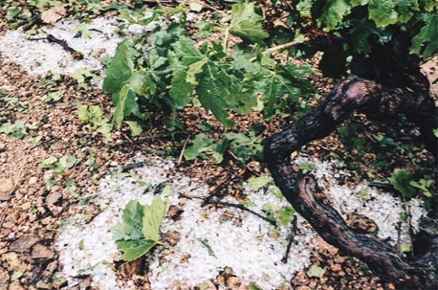'Tornado' of hail hits Beaujolais vineyards