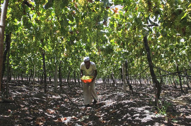 Anson: Making wine in India – Not for the faint-hearted