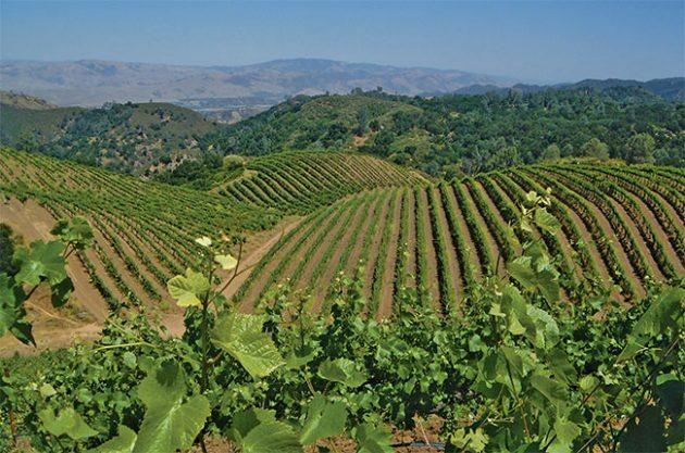Calera's Jensen vineyard in Mt Harlan AVA.