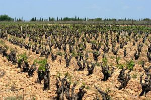 Vines in Châteauneuf du Pape