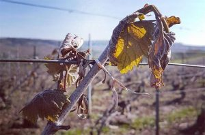 climate change vineyards