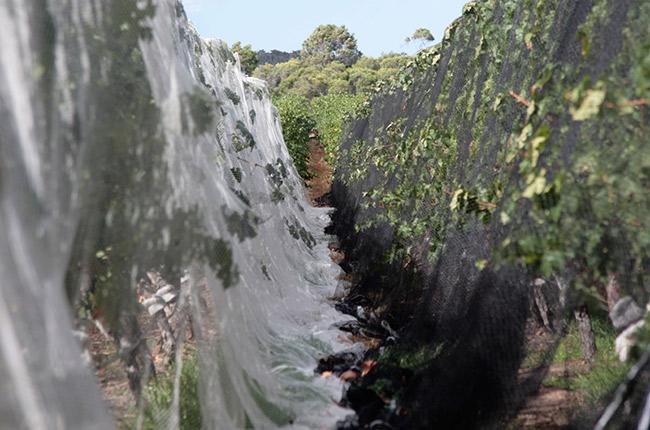 Margaret River grapes birds