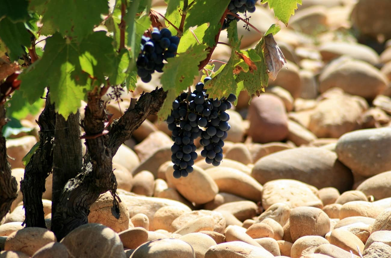 Châteauneuf-du-Pape red wines to contain more white grapes