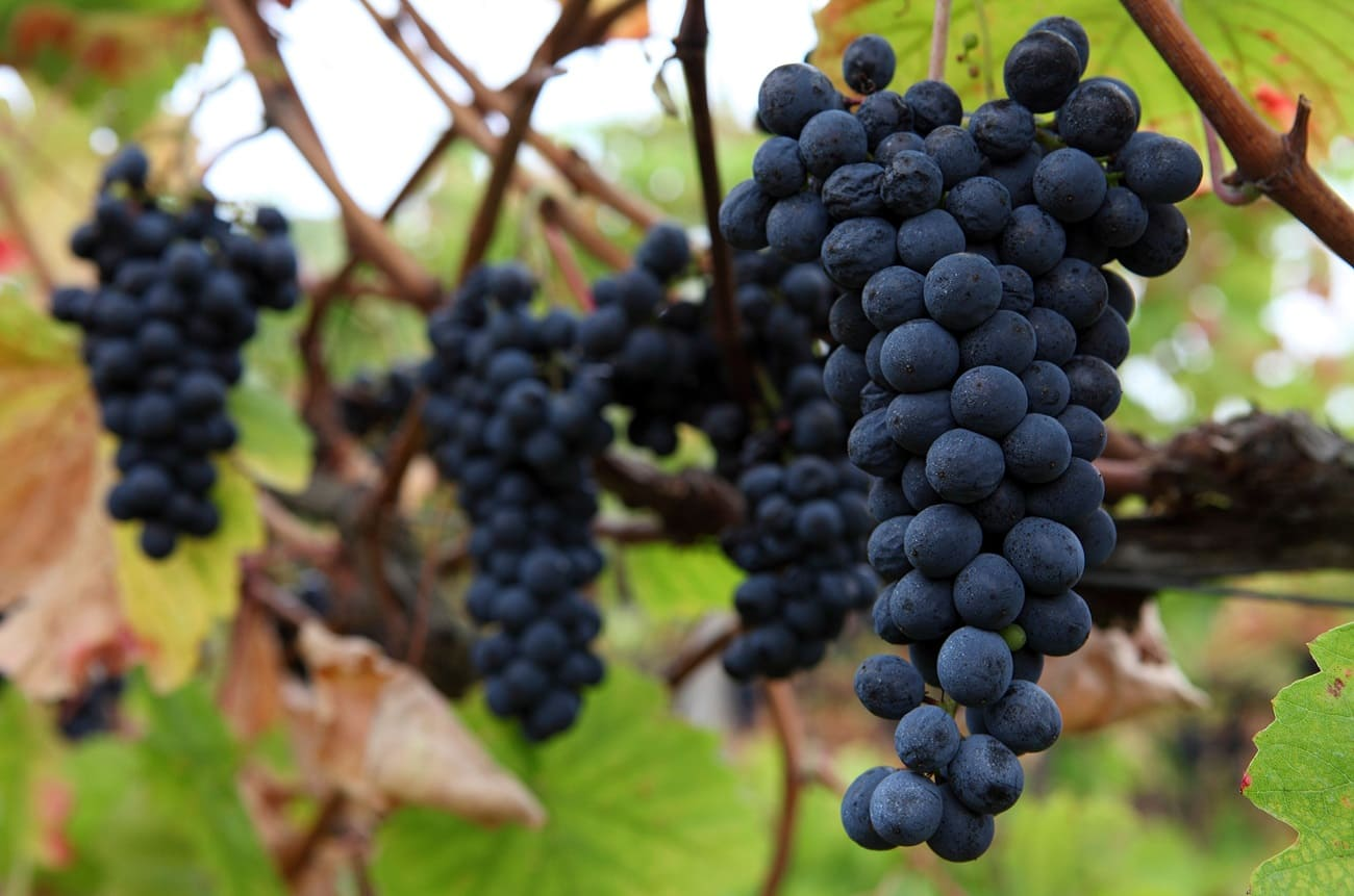 Bordeaux winemakers allow new grapes to fight climate change
