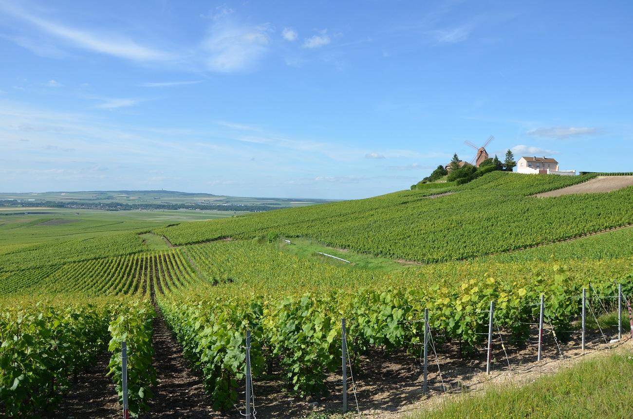 Champagne set for smaller 2019 harvest as picking begins