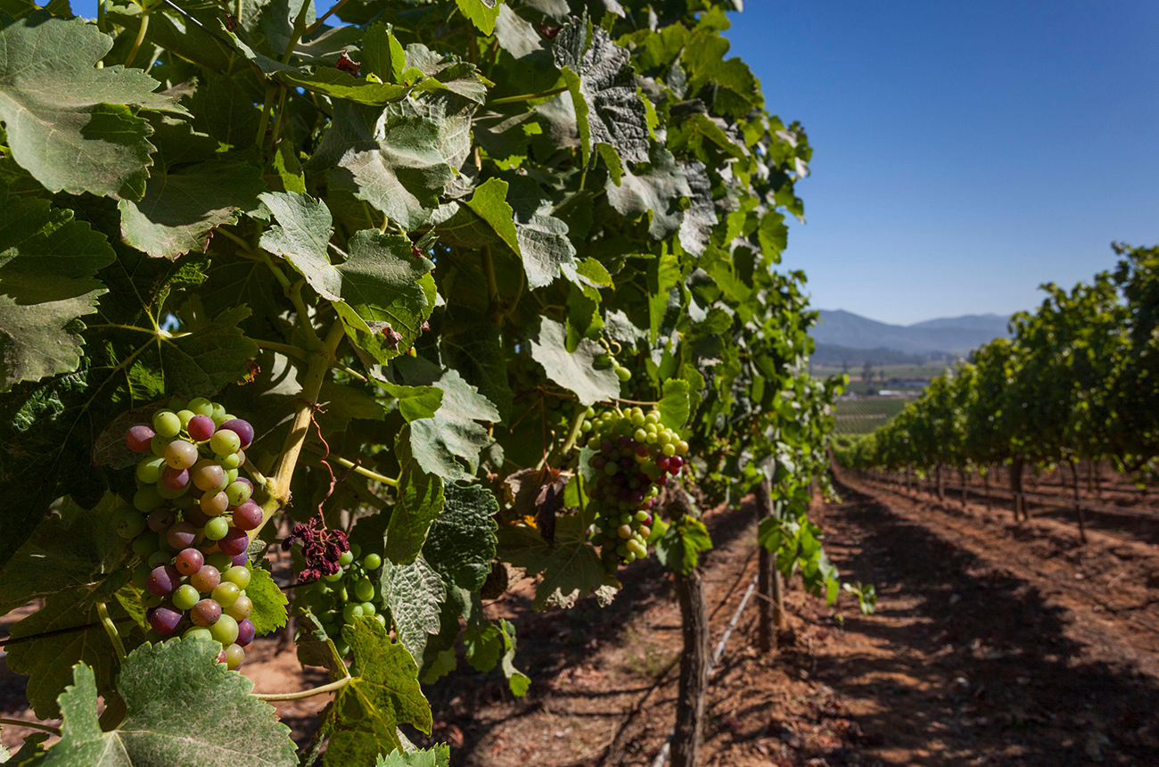 Ferocious frost hits Chilean vineyards