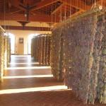 Garganega-drying-2008-006