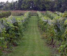 Springhill Winery vineyards in Kentucky