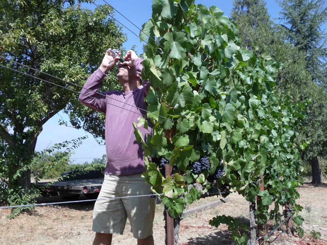 Uzi taking Brix measurements in the vineyard