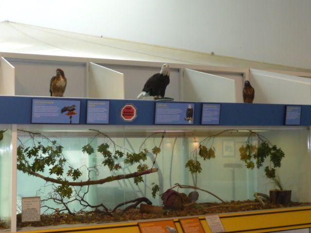 Live Raptors at the Lindsay Wildlife Museum