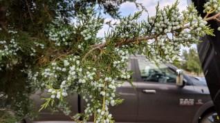Belvidere KOA juniper berries