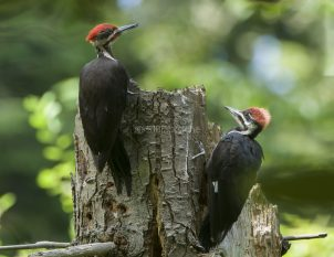 Adult and Fledgling Pileated Woodpecker