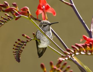 Anna's Hummingbird4