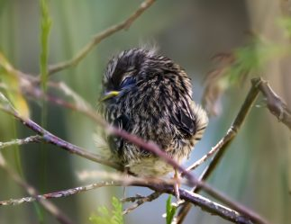 Fledgling White-Crowned Sparrow