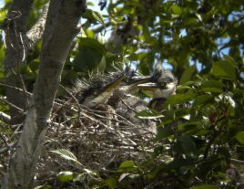 Great Blue Heron Nestlings1