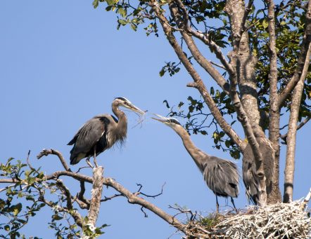 Great Blue Herons Constructing Their Nest