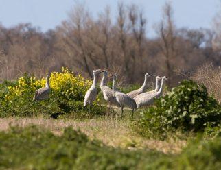 Greater Sandhill Cranes1