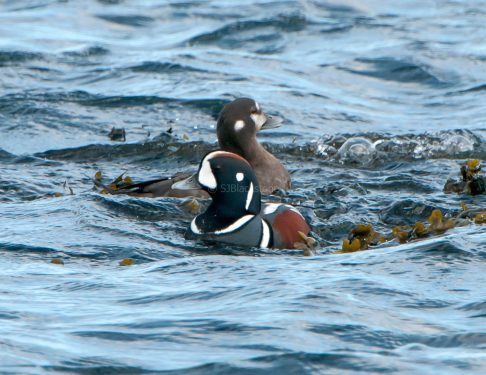 March Harlequin Ducks3