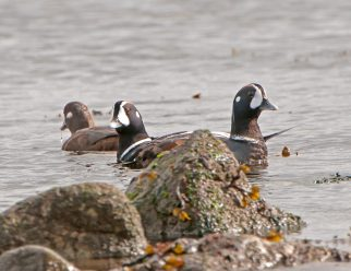 March Harlequin Ducks6