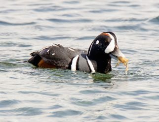 March Harlequin Ducks14
