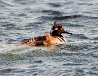 March Hooded Mergansers1