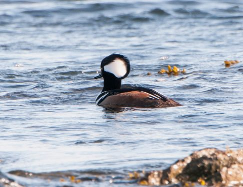 March Hooded Mergansers2
