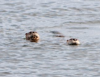 March Otters6