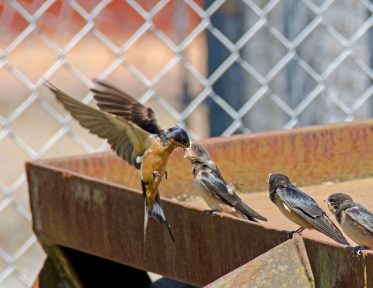 Barn Swallow Chicks01