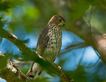 Juvenile Cooper's Hawk01