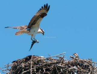 Juvenile UVic Osprey02