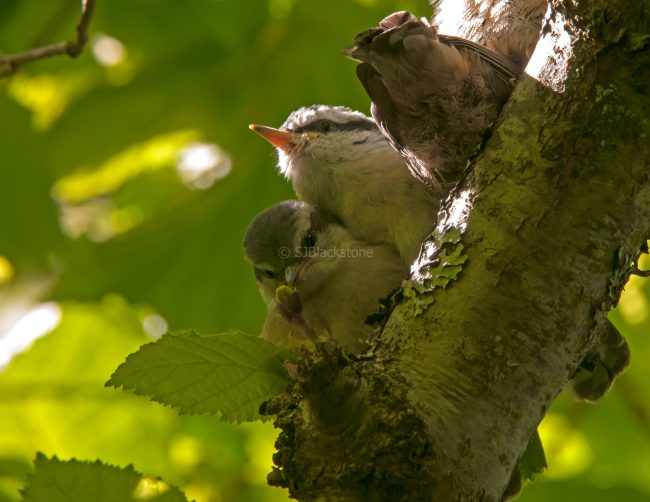 Rose Breasted Nuthatch Chicks01