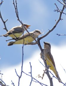 Western Kingbird Chicks03