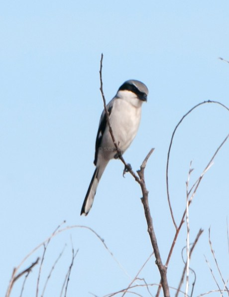 Northern Shrike Looks for Lunch