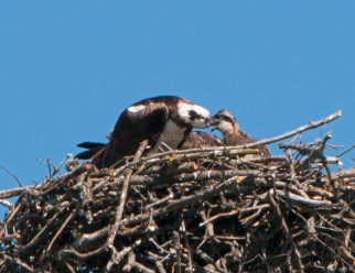 Female osprey feeds chick