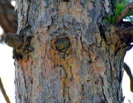 Northern Pygmy Owl 1