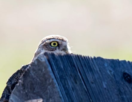 021218 Burrowing Owl 153