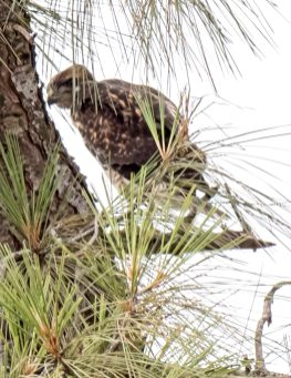 Red-Tail Hawk Fledgling