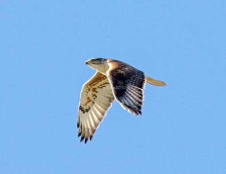 Ferruginous Hawk1