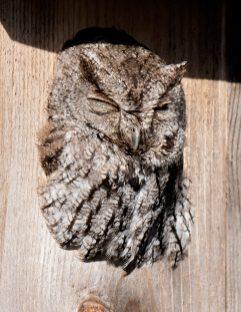 Neighborhood Screech Owl2