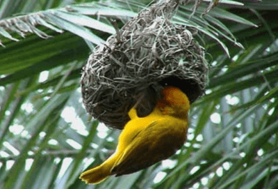weaver bird build nest