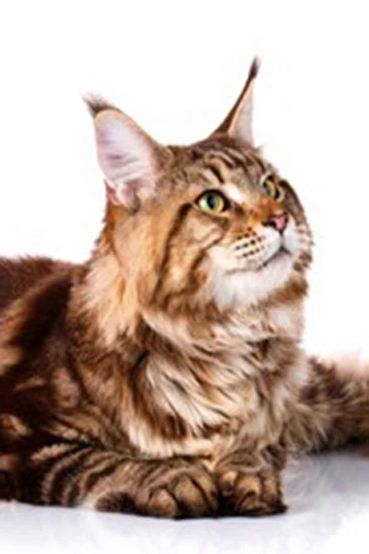 maine coon cat images
