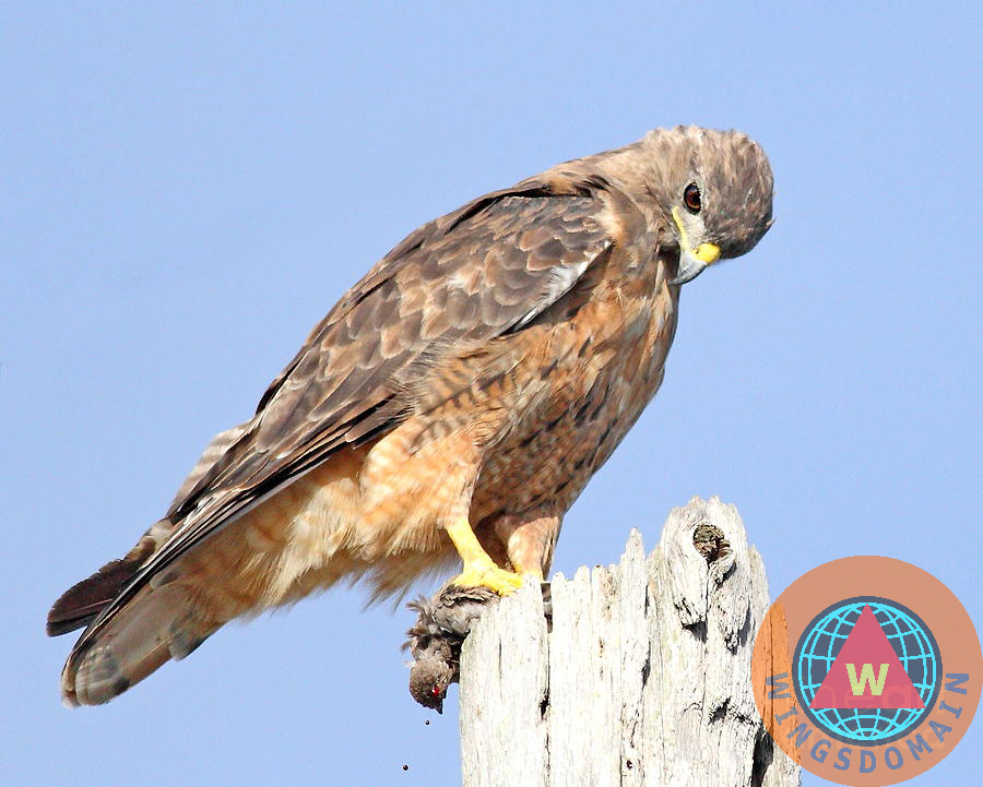 bird, birds, avian, aviary, nature, wildlife, animal, animals, hawk, hawks, sharp shinned hawk, cooper's hawk, cooper hawk, coopers hawk, outdoor, outdoors, raptor, raptors, bird of prey, prey, kill, hunt, hunting, wing tong, wingsdomain