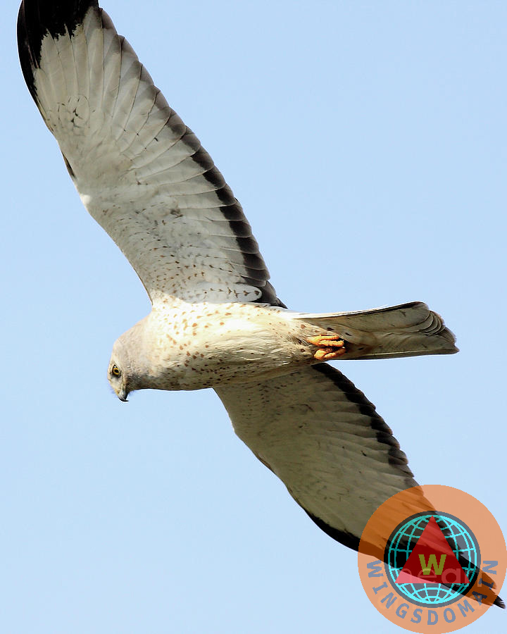 bird, birds, avian, aviary, wildlife, nature, harrier, northern harrier, raptor, hawk, bif, bird in flight, bird of prey, hawks, wing tong, wingsdomain, raptors, wings domain, hunter, prey