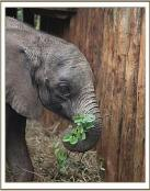 Ons adoptieolifantje Sirimon, Olifantenweeshuis Sheldrick in Nairobi, Kenia
