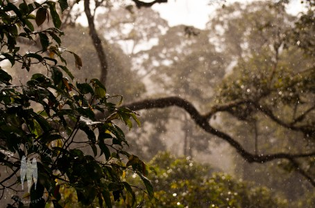A rain storm sits over the canopy near Danum Valley Research Centre, Malaysian Borneo. I spent a whole day in a canopy platform enjoying the life that pulsed nearby. (2011)