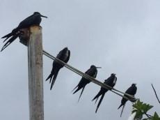 Rainy day frigatebirds.