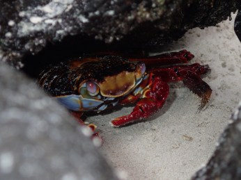 A colorful Sally Lightfoot crab hides from my camera.