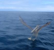 A pelican coming in for the landing.