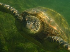 This sea turtle almost ran into me he was so close!