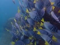 Fish schooling off the coast of Isla Isabela.